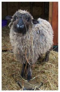 Cotswold Sheepo