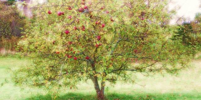My Cortland Apple Tree